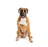 Fawn-colored Boxer Stock Images