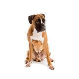 Fawn-colored Boxer Royalty Free Stock Photos