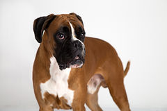 Fawn-colored Boxer Stock Image