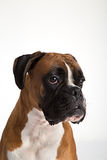 Fawn-colored Boxer Royalty Free Stock Photography