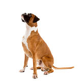 Fawn-colored Boxer Stock Photo