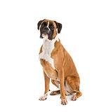 Fawn-colored Boxer Royalty Free Stock Images