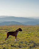 Fawn colored Boxer stands on a mountain top. Royalty Free Stock Photography
