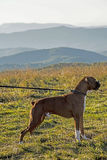 Fawn colored Boxer stands on a mountain top. Royalty Free Stock Image