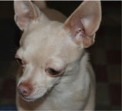 Fawn colored Chihuahua looking innocent. Stock Image