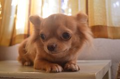 A fawn-colored chihuahua on top of a table Royalty Free Stock Photos
