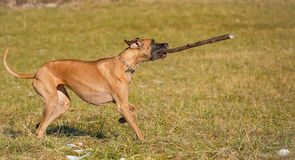 Great dane playing with a big stick Royalty Free Stock Photo