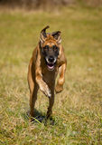 Running great dane Royalty Free Stock Images