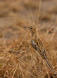 A Fawn-colored Lark on the ground. The colors of the Fawn-colored Lark (Mirafra africanoides) allow a perfect camouflage with the surrounding textures of it´s Stock Photos
