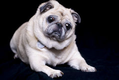 Fawn Colored Pug Royalty Free Stock Photography
