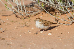 Fawn coloured lark hunting for an inset in red Kalahari sand Royalty Free Stock Image