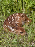 Fawn curled up in the grass royalty free stock photo