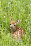 Fawn Curled up in Grass with Spots Showing Royalty Free Stock Photography
