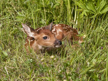 Fawn Curled up in Meadow Stock Photography