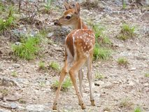 Fawn. This cute baby fawn wanders around while her mother is close by taking in her surrounding environment for the first time royalty free stock photo
