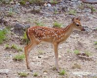 Fawn. This cute baby fawn wanders around while her mother is close by taking in her surrounding environment for the first time royalty free stock photos