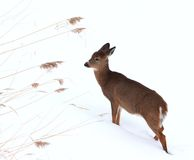 Fawn in de winter royalty-vrije stock afbeelding