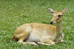 Fawn deer Royalty Free Stock Photo