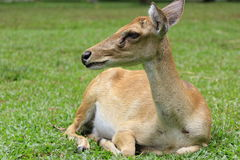 Fawn deer Royalty Free Stock Images