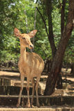 Fawn deer Stock Photography