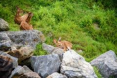3 Fawn Deer die achter stenen rusten Stock Foto