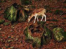 Fawn deer in forest. Fawn deer eating in forest among leaves and tree stumps royalty free stock photo