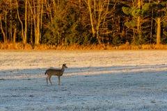 Fawn Deer i fält Fotografering för Bildbyråer