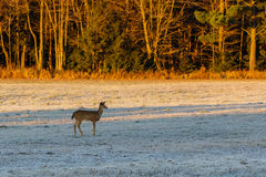 Fawn Deer no campo Imagem de Stock