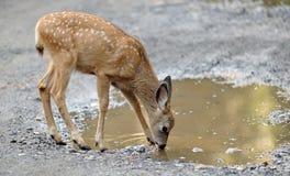 Fawn dei cervi di mulo che beve dalla pozza Immagine Stock Libera da Diritti