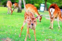 Fawn dei cervi di Sika Fotografia Stock