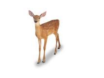 Fawn dei cervi di Whitetail Immagine Stock