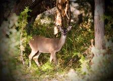Fawn dei cervi di Whitetailed, Texas Hill Country Immagini Stock