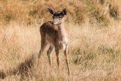 Fawn dei cervi nobili Immagine Stock