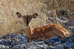 Fawn dell'impala che esamina diritto la macchina fotografica immagini stock libere da diritti