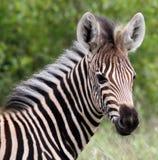 Fawn della zebra Fotografie Stock Libere da Diritti