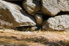 Fawn di Blackbuck che pasce fotografia stock