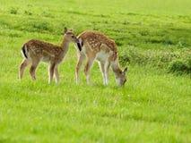 Fawn and Doe Deer Stock Photos