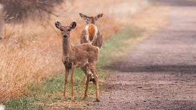 Fawn & Doe Deer. This fawn was very interested in me as I was snapping photos. The doe couldn't care less. This is on the Fort Kearney trail by the Stock Image