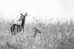 Doe and Fawn in Black and White royalty free stock image