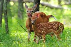 Fawn e daina del Whitetail Fotografia Stock