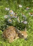 Fawn e fiori muniti bianchi dei cervi Fotografie Stock Libere da Diritti