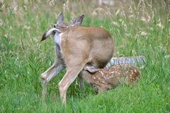 Fawn e sua mãe, amamentação, na grama Imagens de Stock Royalty Free
