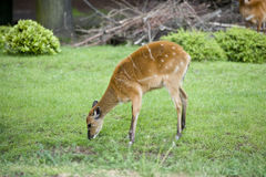 Fawn eating Royalty Free Stock Image