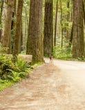 Fawn en varens in het Californische sequoiabos stock afbeelding