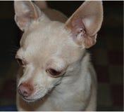 Fawn färgade chihuahuaen som ser oskyldig Fotografering för Bildbyråer