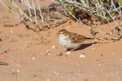 Fawn färgade lärkajakt för ett inlägg i röd Kalahari sand Royaltyfri Bild