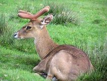 Fawn fallow deer Stock Photos