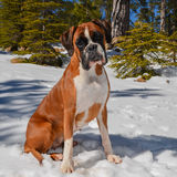 Fawn female boxer dog sitting in the snow Royalty Free Stock Image