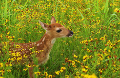 Fawn in field Stock Photography