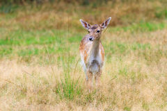 Fawn in a field Royalty Free Stock Images